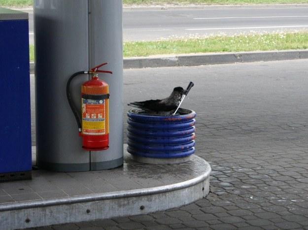 Ptasia kąpiel na stacji benzynowej.