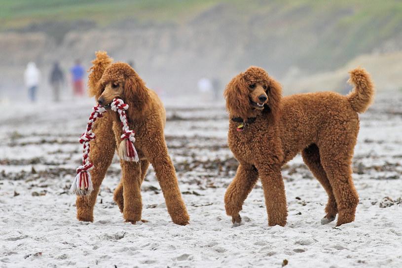 Pudle to psy, które mają włosy kędzierzawe /123RF/PICSEL
