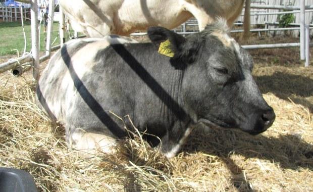"""""""Puls Biznesu"""": Mięso, mleko i frytki zagrożone suszą"""