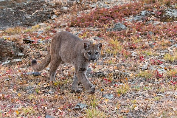 Puma, zdjęcie ilustracyjne /Avalon / Contributor /Getty Images