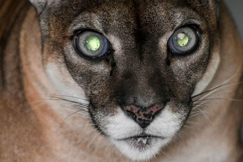Puma (Zdjęcie ilustracyjne) /Joaquin Sarmiento /AFP