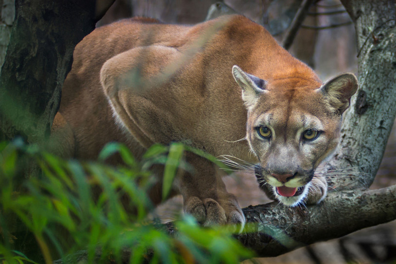 Puma - zdjęcie ilustracyjne /123RF/PICSEL