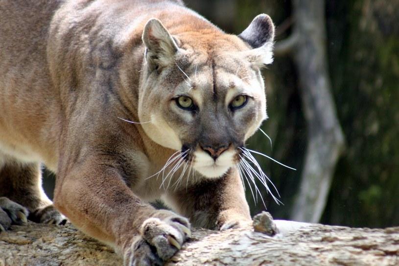 Puma /123RF/PICSEL
