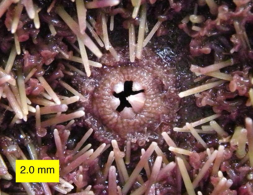 Purpurowe jeżowce niemal całkowicie wytrzebiły część podwodnych lasów u wybrzeży Kalifornii /Wikimedia