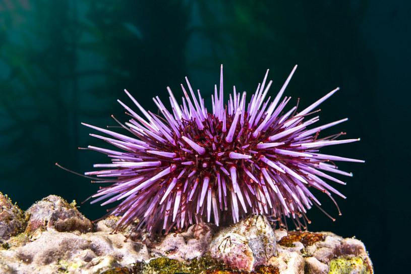 Purpurowe jeżowce zwykle są pożyteczne dla ekosystemów, ale nie wtedy, gdy ich populacja nadmiernie się rozrasta. Fot. joebelanger/easyfotostock /East News