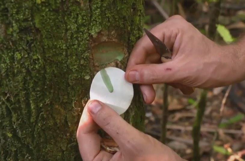 Pycnandra acuminata z mleczkiem lateksowym zawierającym metale ciężkie /YouTube