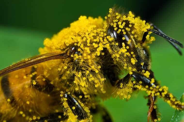 Pył pszczeli /© Photogenica
