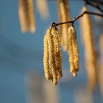 Pyłki drzew mogą szkodzić