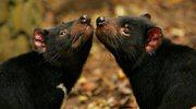 Rak pyska wykończy tasmańskiego szatana