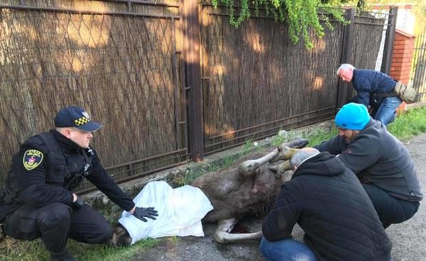 Ranny łoś uratowany w Sosnowcu [ZDJĘCIA I FILMY]
