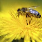 Raport: Na północy Europy ginie najwięcej pszczół