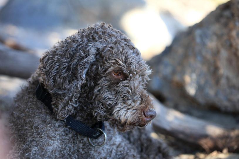 Rasa laggoto romagnolo to jedyna rasa na świecie, które specjalizuje się w poszukiwaniu trufli /123RF/PICSEL