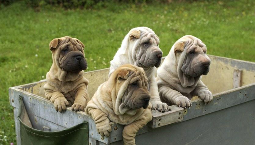 Rasy psów, które wyróżniają się już na pierwszy rzut oka