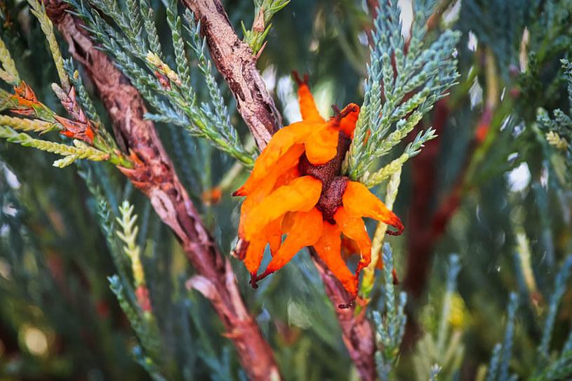 Rdza jałowca jest jedną z najgroźniejszych chorób roślin /123RF/PICSEL