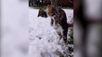 Reakcja kota na śnieg? Uśmiejesz się