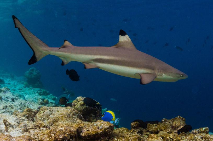 Rekin Carcharhinus obselorus żył w morzu południowochińskim, ale w wyniku nadmiernych połowów nie był w stanie znaleźć pożywienia i przetrwać /123RF/PICSEL