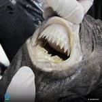Rekin foremkowy: Ta mała rybka może odgryźć kawałek okrętu podwodnego