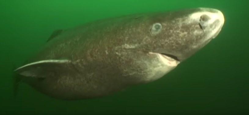 Rekin polarny. Toksyczny i niezwykle tajemniczy gatunek /materiały prasowe