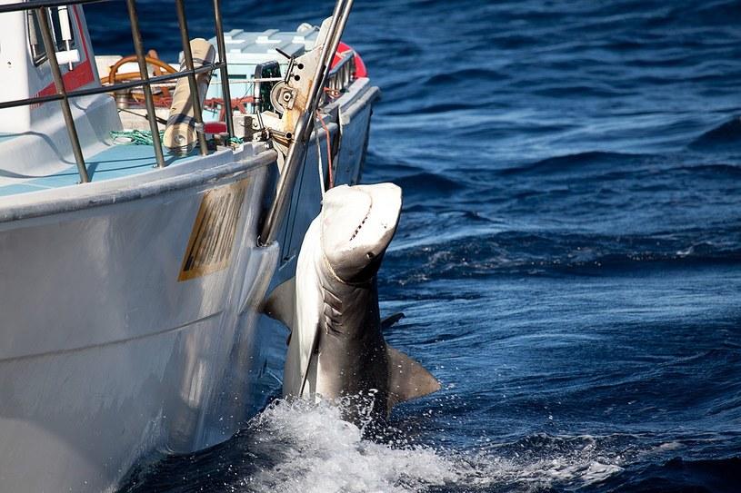 Rekin tygrysi złapany u wybrzeży Australii /Sea Shepherd Australia /AFP