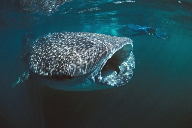 Rekin wielorybi /East News