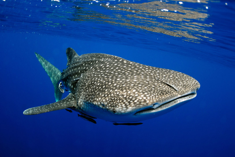 Rekin wielorybi /123RF/PICSEL