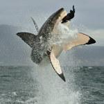 Rekiny atakowane przez kałamarnice w wodach Pacyfiku