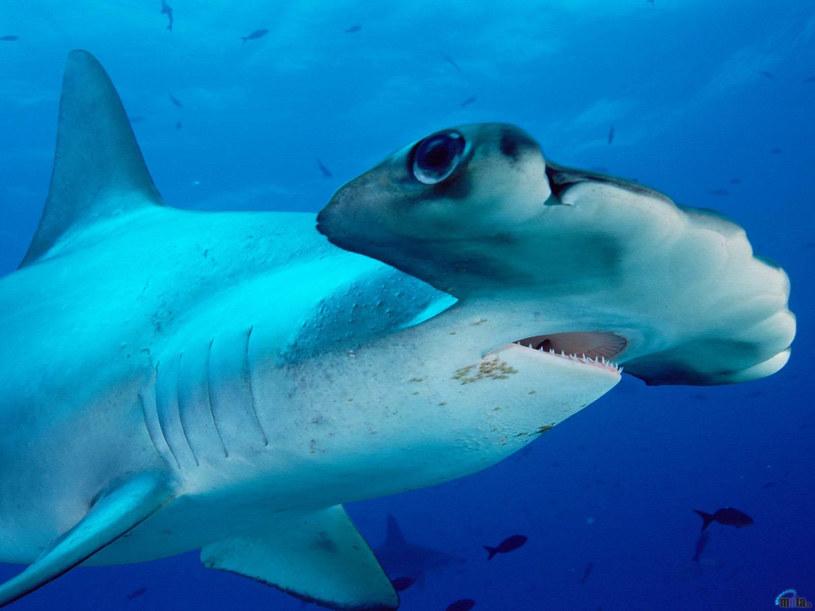 Rekiny mają oczy z boku, więc musza okrążyć obiekt, aby go dobrze obejrzeć /AFP