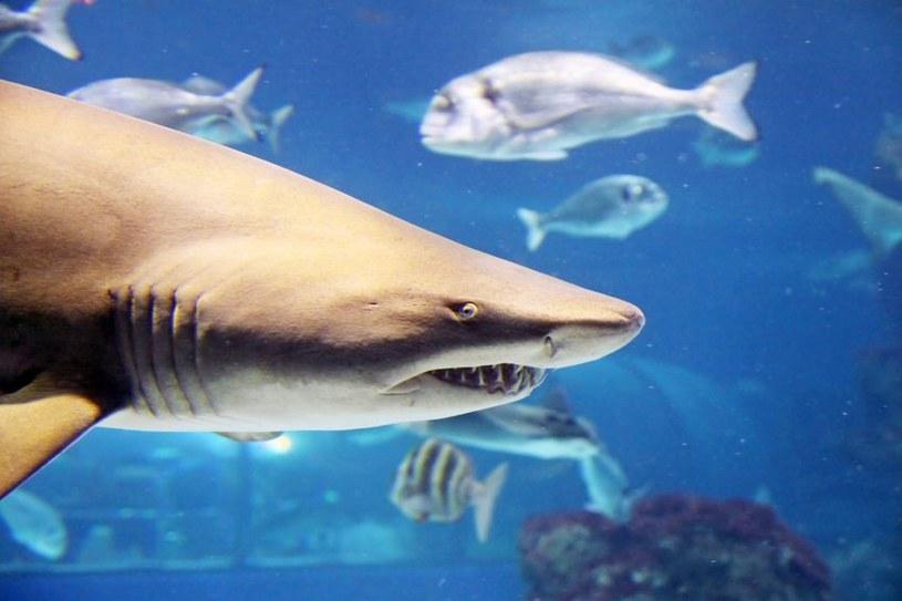 Rekiny na Twitterze - i to dosłownie /123RF/PICSEL
