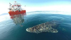 Rekiny polarne żyją nawet 400 lat!