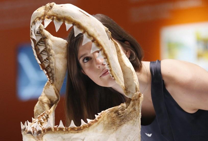 Rekiny posiadają nieskończoną ilość zębów, które się odnawiają /AFP