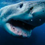 Rekiny starają się utrzymać pokój. Niezwykłe odkrycie naukowców