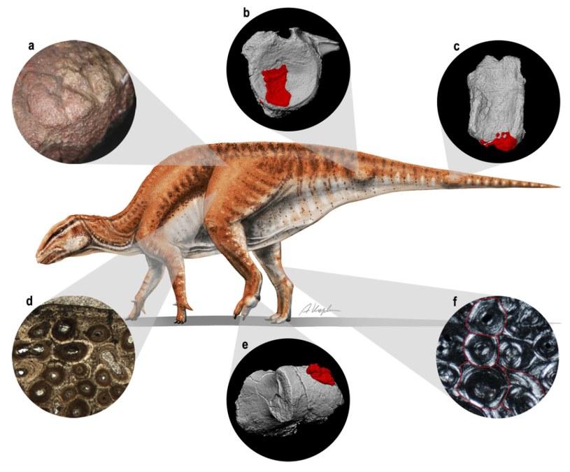 Rekonstrukcja G. mongoliensis /Nature.com/A. Kapuścińska /