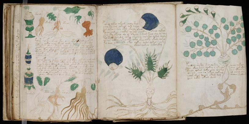 Rękopis zawiera piękne rysunki roślin. Mógłby być to, popularny w średniowieczu, zielnik. Problem w tym, że nie wiadomo, jacy przedstawiciele świata flory są na rycinach /AKG Images /East News