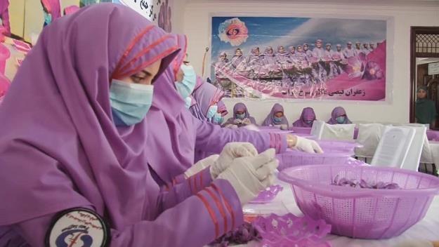 Rekordowa produkcja szafranu w Afganistanie. Fot. Xinhua / x-news /