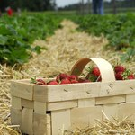 Rekordowe ceny truskawek, eksport zagrożony