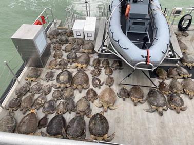 Rekordowe mrozy w Teksasie. Mieszkańcy ratują tysiące żółwi przed wychłodzeniem