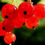 Renesans czerwonej porzeczki