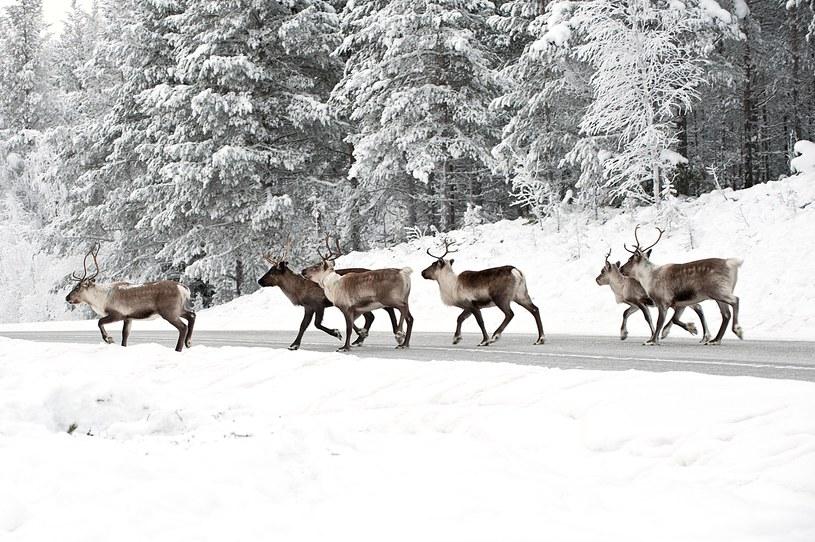 Renifery w Laponii /123/RF PICSEL
