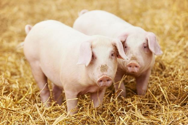 Resort rolnictwa przygotowuje plan zwiększenia pogłowia świń /©123RF/PICSEL