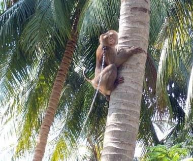 Rezygnują z kokosów zbieranych przez małpy