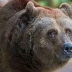 RMF24: Wrony i głodne niedźwiedzie atakują Rosjan