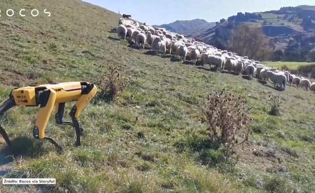 Robot-pies pilnuje stada owiec w Nowej Zelandii. Zobacz film