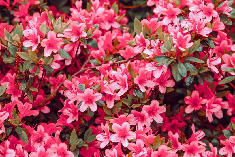 Rododendron stracił kwiatostany? Musisz otoczyć go opieką /123RF/PICSEL