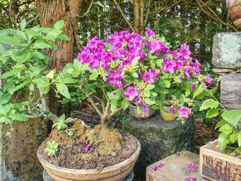 Rododendron w formie drzewka bonsai /123RF/PICSEL