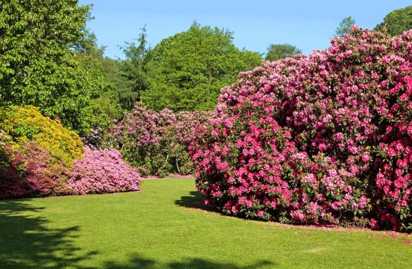 Rododendrony i azalie /123RF/PICSEL