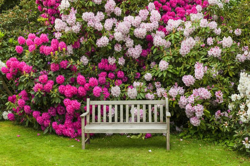 Rododendrony najlepiej sadzić wczesną wiosną lub na początku jesieni /123RF/PICSEL