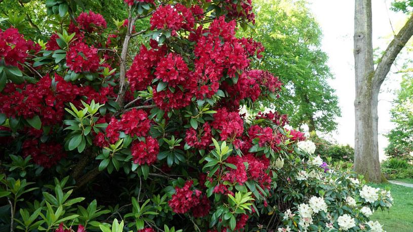 Rododendrony potrzebują odpowiedniego nawożenia