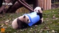 Rodzeństwo pand próbuje wejść do wiaderka. Uda się?