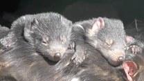Rodzina diabłów tasmańskich uwielbia wylegiwać się na słońcu