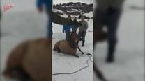 Rodzina łosi uratowana przez ludzi
